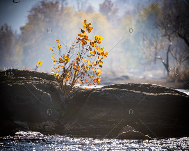Tree growing along the bank of the Potomac River in Maryland in early autumn