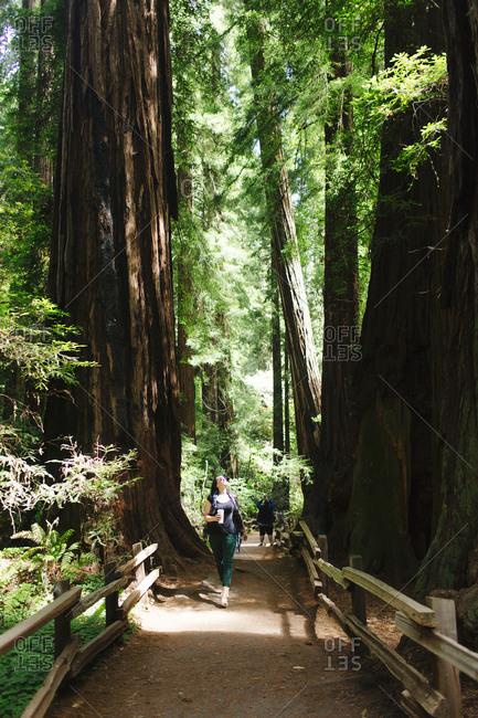 Female enjoys a walk through redwood park  Muir Woods National Monument