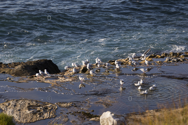 Seagulls in tide pool at Coogee Beach in Sydney, Australia