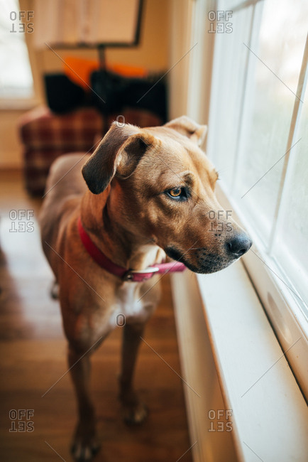 Brown dog looking out a window