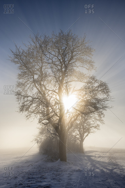 Germany- Baden-Wuerttemberg- Constance district- sun shining through tree in winter