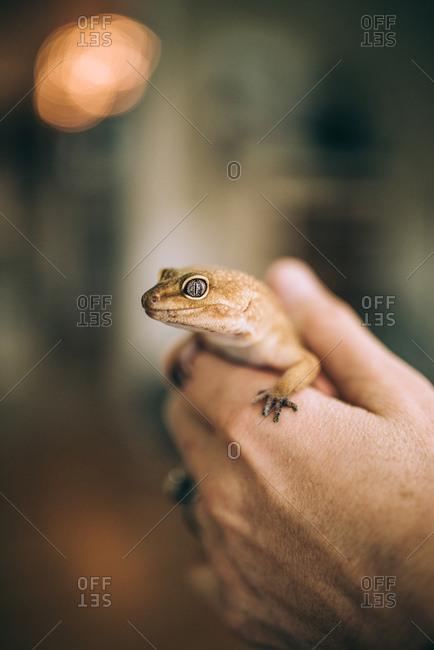 Hands holding a leopard gecko