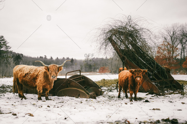 Two west highland cows