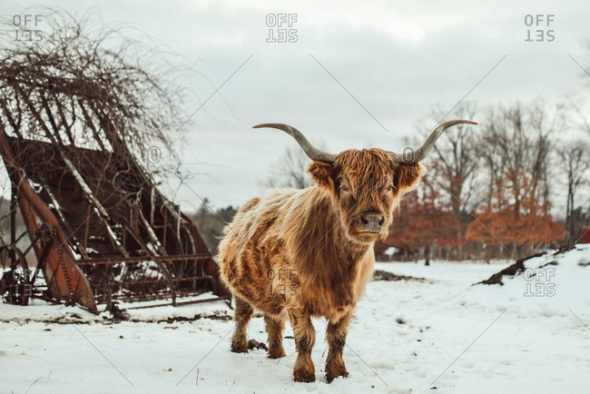 Tan west highland cow