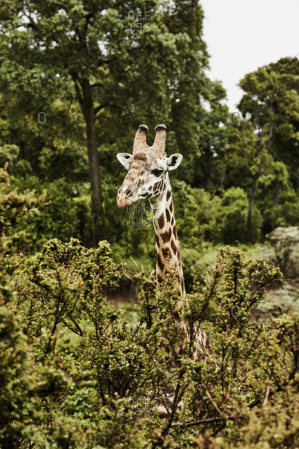 Giraffe behind trees
