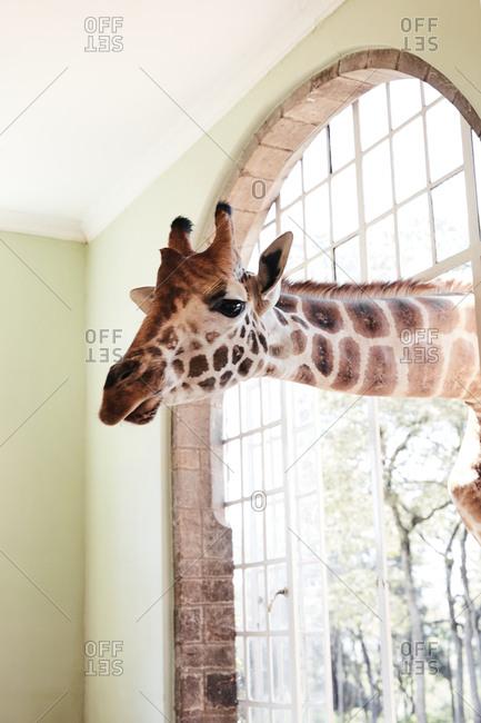 Giraffe looking through window