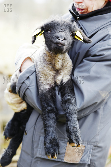 Person holding lamb