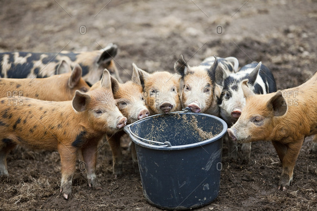 Pigs standing by bucket