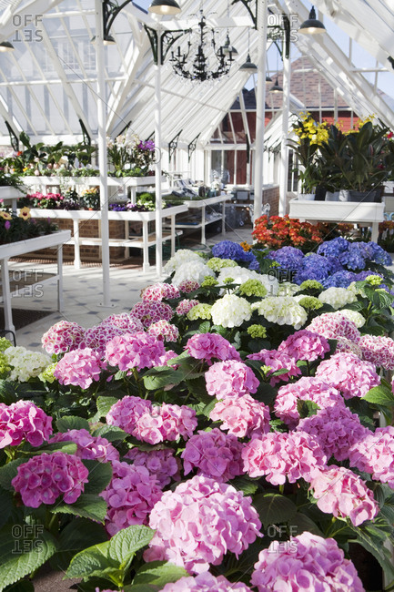 Colorful hydrangea in greenhouse