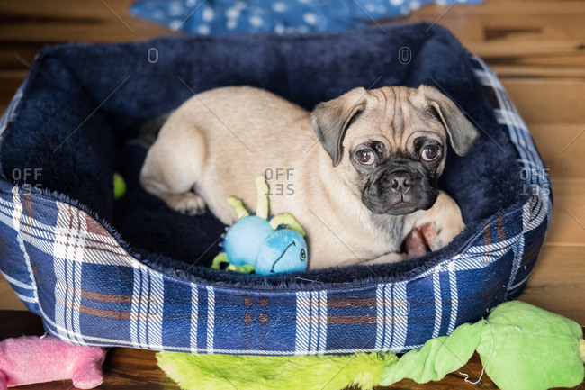 Cute pug sitting in its bed