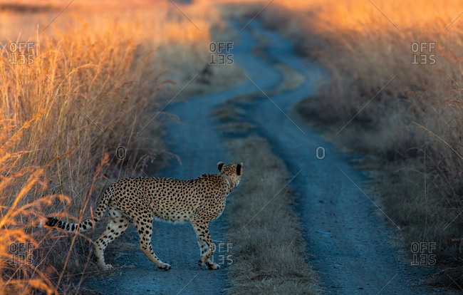 Cheetah crossing a road in South Africa