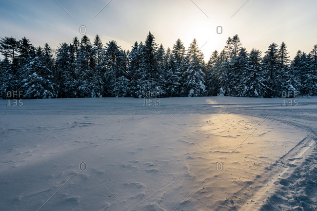Snow-covered field before pine trees at dusk