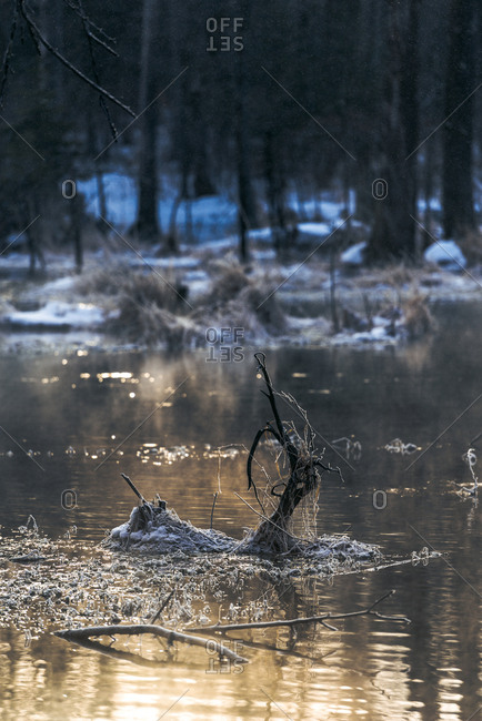 Snow and ice-covered branches in swamp at dusk
