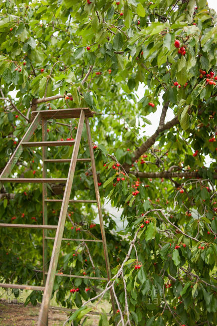 Wooden ladder by a cherry tree
