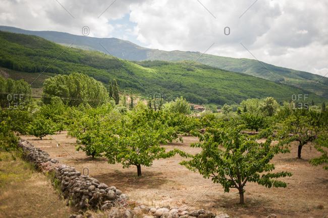 Cherry tree orchard in Valle del Jerte, Spain