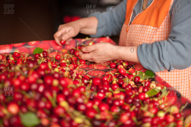 Woman sorting fresh picked cherries