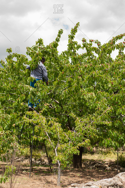 Valle del Jerte, Spain - May 27, 2016: Man on a ladder by a cherry tree
