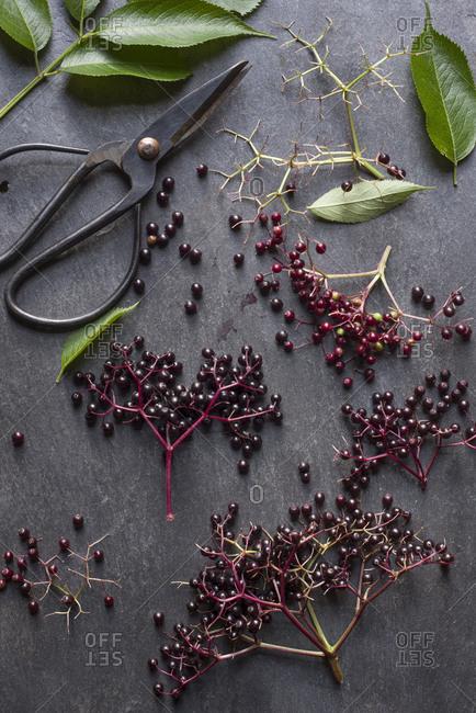 Freshly picked elderberries
