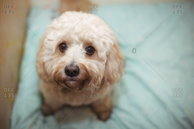 Close-up of toy poodle puppy