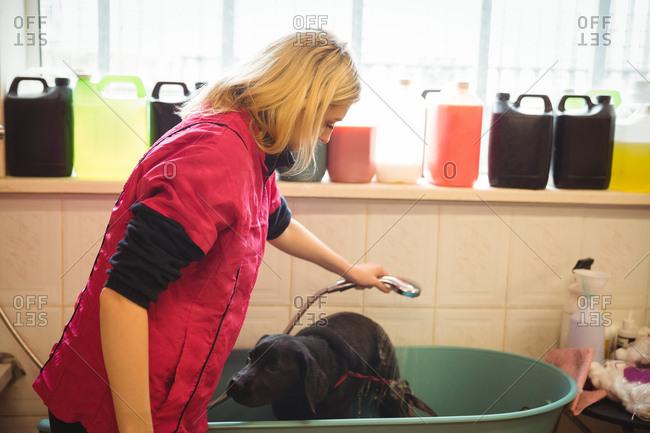 Woman showering a dog in bathtub