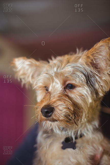 Yorkshire terrier puppy - Offset Collection