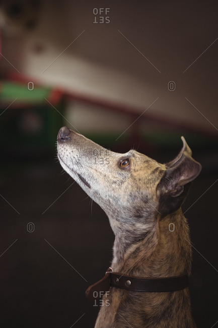 Curious greyhound dog looking up