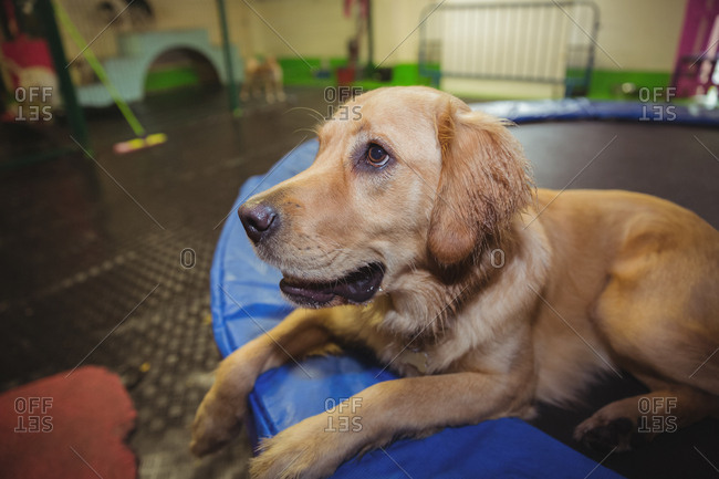 Golden retriever relaxing on trampoline
