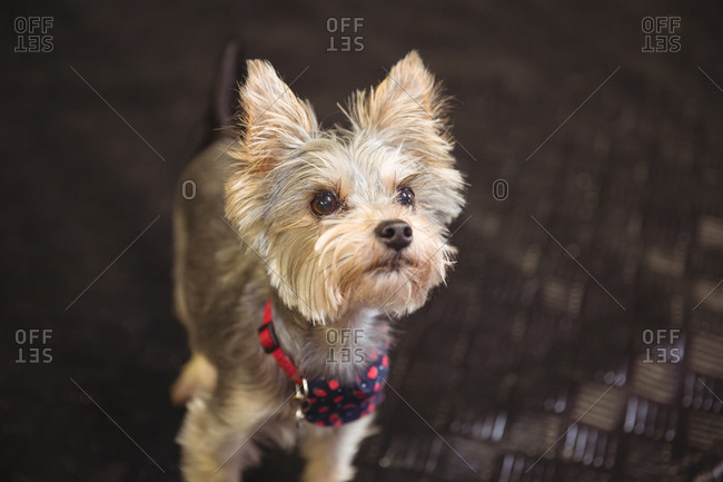 Close-up of Yorkshire terrier puppy looking up