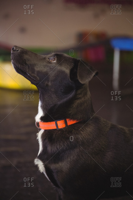 Close-up of black beagle dog looking up