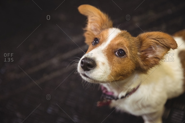 Close-up of rat terrier puppy looking up