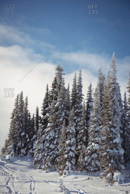 Snow covered pine trees on the alp mountain