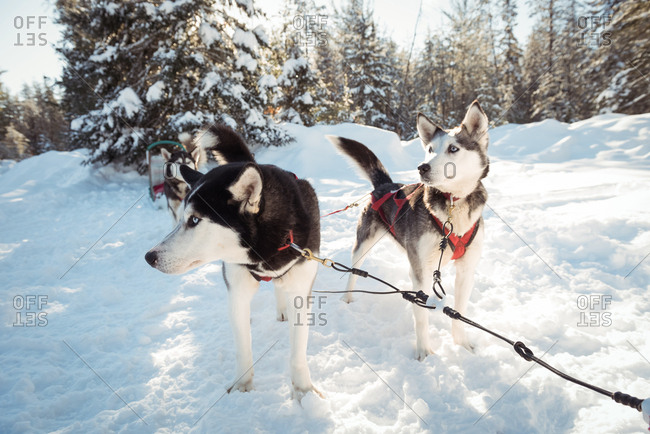 Siberian husky dogs waiting for the sledge ride