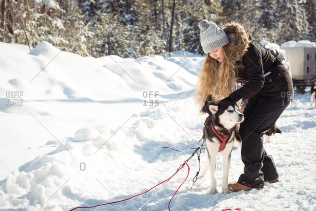 Female musher tying husky dogs to the sledge