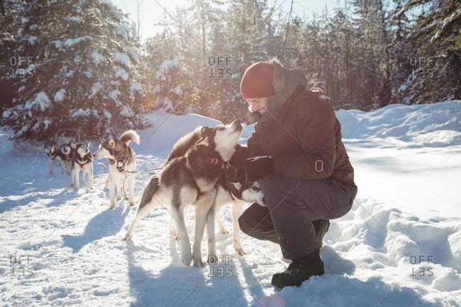 Musher tying husky dogs to the sledge