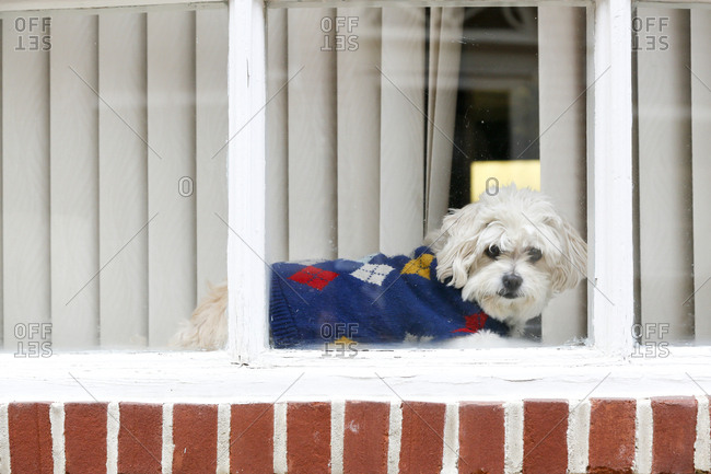 A dog in sweater in window