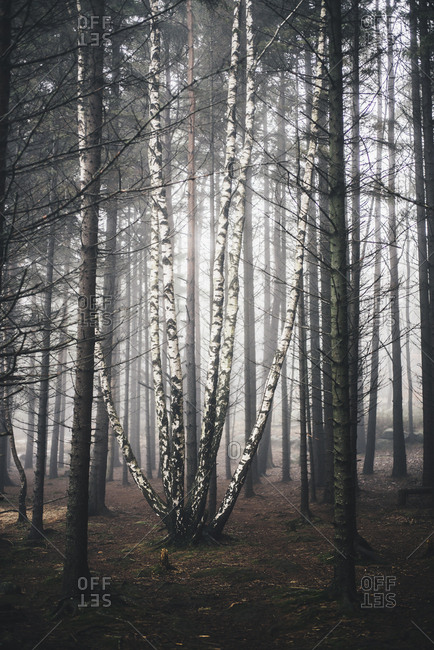 Foggy forest in Sweden