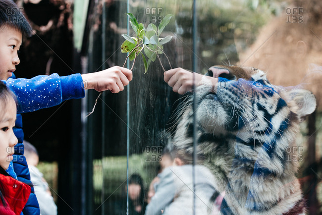 Chinese children watching a tiger in zoo