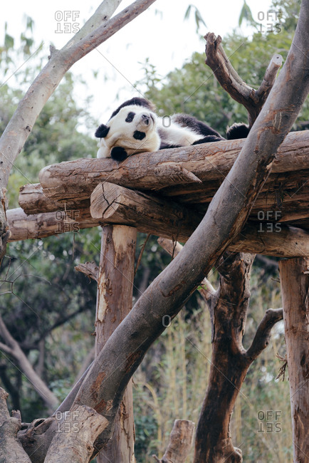 A giant panda resting on wooden structure