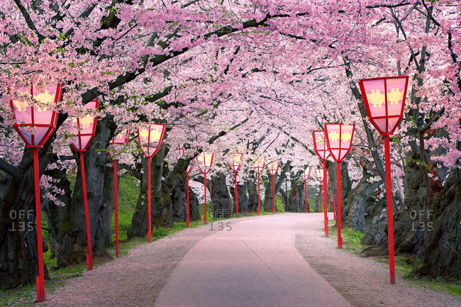 Cherry blossoms on tree-lined path with street lamps in Hirosaki Park in Japan