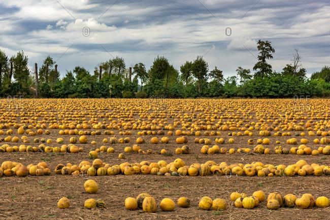 Slovenia- Bovec- Styrian oil pumpkin field