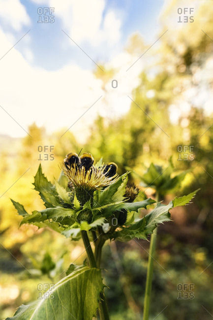 Three bumblebees on blossom of thistle