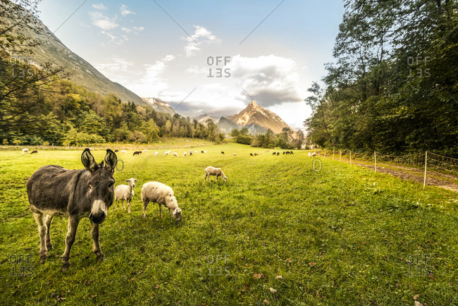 Slovenia- Bovec- Kanin Valley- sheeps and donkey on a pasture