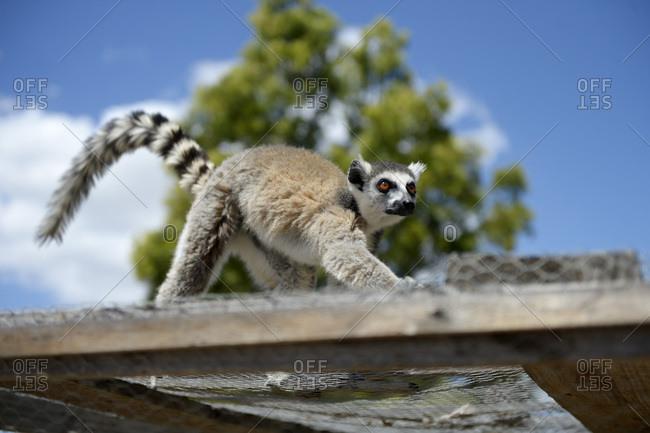 Madagascar- lemur walking on a cage