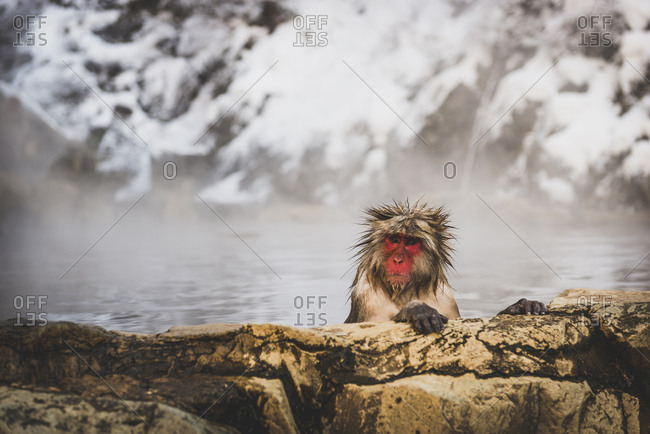 Japan- Yamanouchi- Jigokudani Monkey Park- portrait of bathing red-faced makak