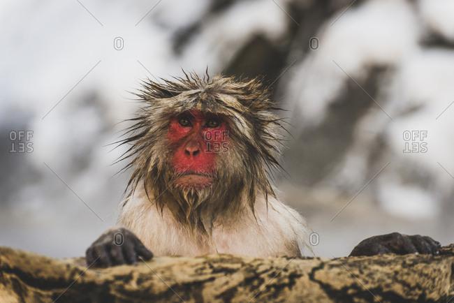 Japan- Yamanouchi- Jigokudani Monkey Park- portrait of wet red-faced makak