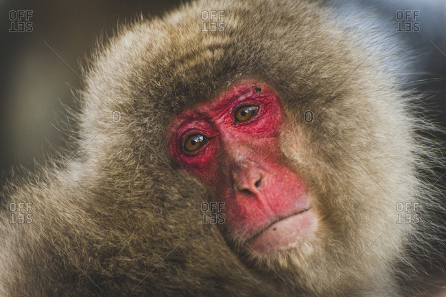 Japan- Yamanouchi- Jigokudani Monkey Park- portrait of red-faced makak