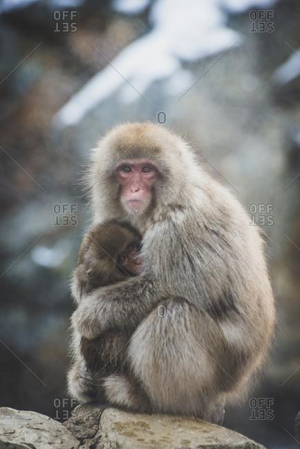Japan- Yamanouchi- Jigokudani Monkey Park- red-faced makak with young animal