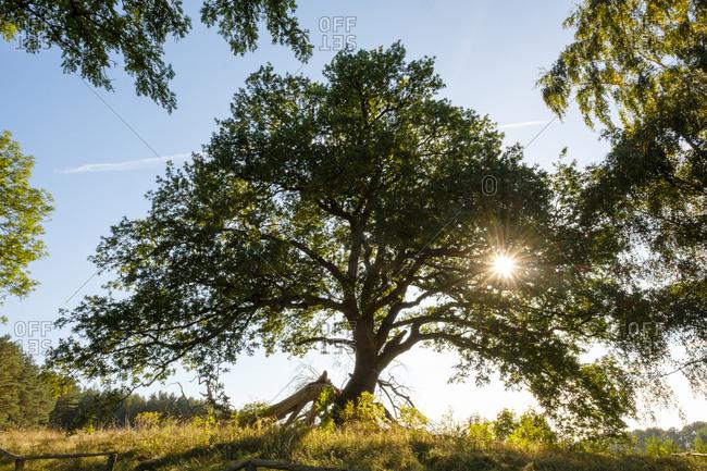 Germany- Usedom- Suckow- Sessile Oak at backlight