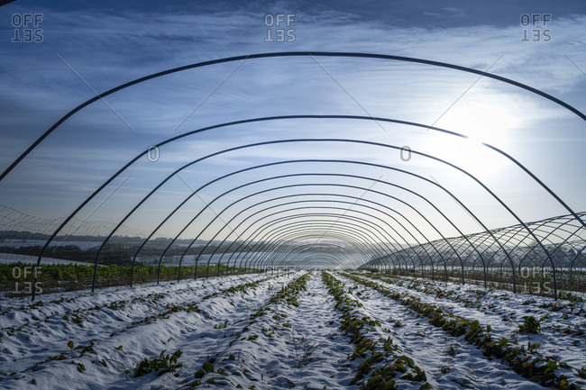 Snow-covered strawberry fields