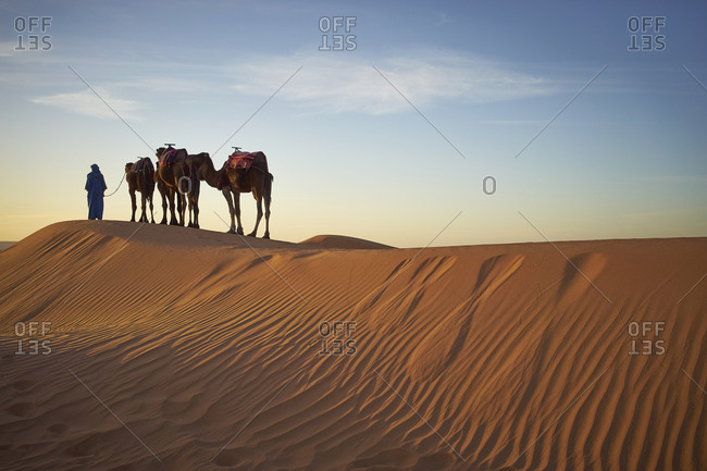 Silhouette of guide with camels on sand dunes in desert landscape